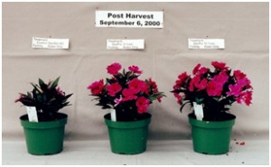 New Guinea Impatiens, demonstrating post harvest quality benefits for ZeoPro