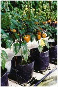 Commercial bag culture bell pepper, ZeoPro in  peat:perlite media (Blazzard Greenhouse, Colo.)