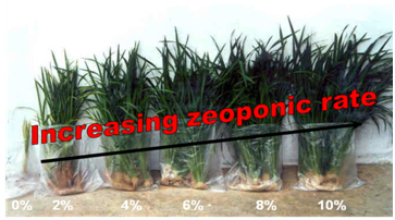 Greenhouse Rice Study - Increasing ZeoPro Percentages from 0 to 10%, left to right (30 days after transplant); Malaysian Agricultural Research & Development Institute