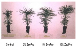 Pine seedling trial ZeoPro at Swedish university, demonstrating 25% reduction in seedling  establishment time for improved economics.
