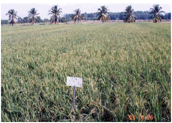 Rice Paddies Growing with ZeoPro in Malaysia, high yield hybrid variety trials 1998-2000; demonstrated 40% yield increase at economic application rates of ZeoPro (Malaysian Agricultural Research & Development Institute)